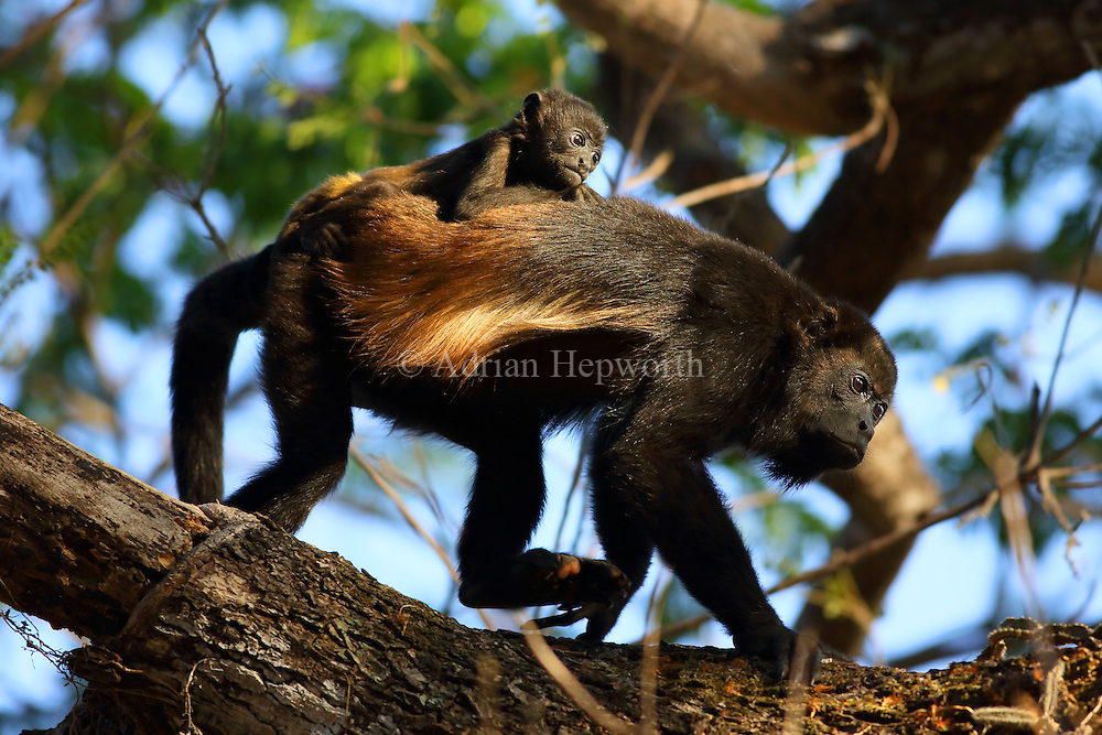 Mantled howler monkeys (Alouatta palliata) - mother and baby. Tropical dry forest. Palo Verde National Park, Guanacaste, Costa Rica.