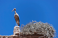 Stork on top of the Stork Kasbah in Ouarzazate (Kasbah des Cigognes) against clear blue sky.