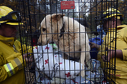 November 18, 2018 - Magalia, California, U.S. - Animal rescue team members ARCHER and GOODERHAM load a scared dog into a crate so they can take her to the shelter. The other dog on this property was not found and it was unclear if the animal had already been picked up or not. Many of the pets rescued from the Camp Fire suffered burns and are now recovering.<br />  (Credit Image: © Neal Waters/ZUMA Wire)
