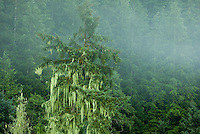 Old Man's Beard (Usnea Longissima) Lichen, which is a combination of fungus and algae, is a common sight along the coast of British Columbia, growing on the trees.  Zebellos, Vancouver Island, Canada.