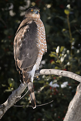 A broad-winged hawk waits patiently for a bird to approach a backyard bird feeder in Springfield, Mo. EDITORS NOTE: The hawk was photographed very near to the bird feeder. This should not be considered a wild/natural situation due to the presence of the backyard feeder. Caption for this photo must  indicate that the photo of the hawk was taken in a backyard near a bird feeder.