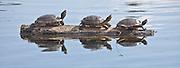 A trio of turtles basking on a log, Louisiana, North America