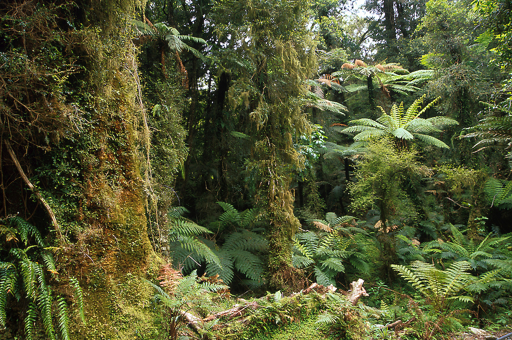 Typical plants like moss, trees and ferns cover the rainforest.in the fiordland are of the south island  of New Zealand.1999