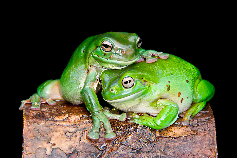 Australian Green Tree Frogs (Litoria caerulea) is a species of tree frog native to Australia and New Guinea, with introduced populations in New Zealand and the United States.  Popular as pets.