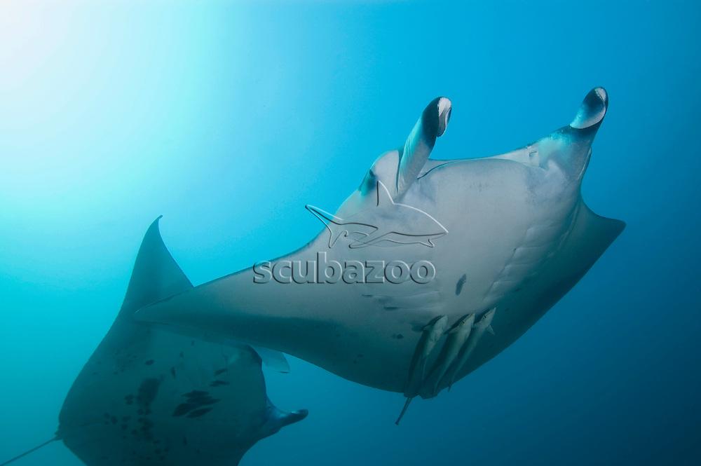 Manta Ray, Manta birostris, Lan Kan Reef, Maldives.