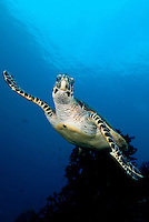 Hawksbill Turtle .Shot in West Papua Province, Indonesia