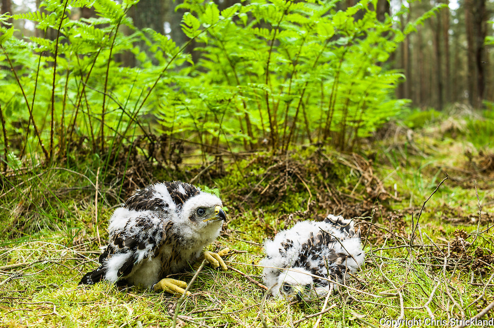 Jedburgh, Scotland, UK. 15th June 2015. A male (right) and female Goshawk chick between 3 and 4 weeks old, which have been ringed by a licensed ornothologist to monitor population levels. There are less Goshawks than Golden Eagles in the British Isles although the Scottish Borders is a popular site for the birds, mainly due to suitable forestry that is well managed.