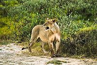 Female African lion (Panthera leo) at Amboseli National Park.  Kenya.