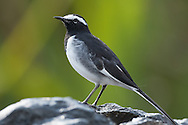 A white-browed wagtail stands on a rock backlit by beatiful greens and yellows of distant foliage, Ranganathittu Bird Sanctuary, India