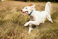 Brittany Spaniel running in field