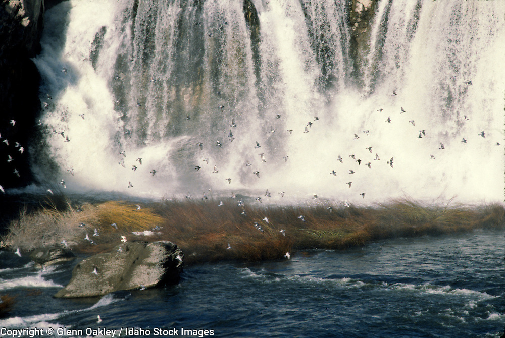 Shoshone Falls and a flock of birds, Snake River, Idaho