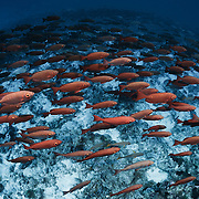 Large school of thousands of crescent-tail bigeye fish (Priacanthus hamrur) in deep water, swarming over sand and coral bottom at the entrance to Tiputa Pass in Rangiroa, Tahiti