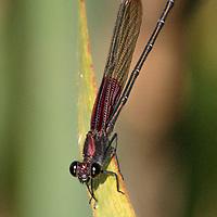 Hetaerina americana, male, urban Austin, Texas
