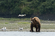 A brown bear adult watches a seagull fly past along the lower lagoon at the McNeil River State Game Sanctuary on the Kenai Peninsula, Alaska. The remote site is accessed only with a special permit and is the world's largest seasonal population of brown bears in their natural environment.