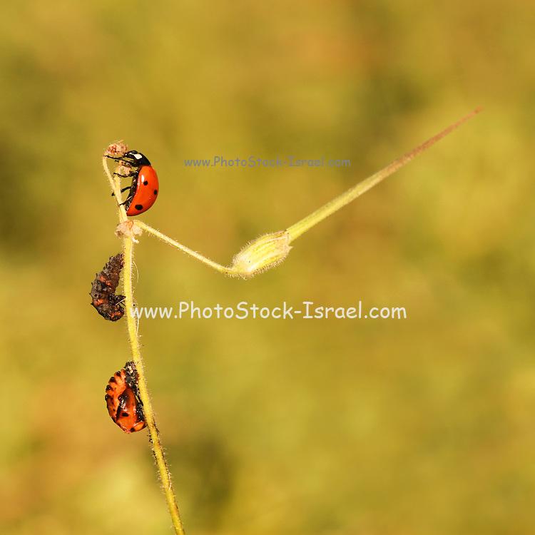 Coccinella septempunctata, the seven-spot ladybird Photographed in Israel
