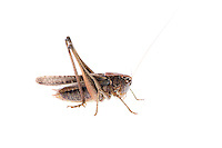 IFTE-NB-007696; Niall Benvie; Platycleis albopunctata grisea; Europe; Austria; Tirol; Fliesser Sonnenhänge; invertebrate arthropod insect grasshopper; horizontal; high key; brown white; controlled; adult; one; upland grassland meadow woodland edge; 2008; July; summer; strobe backlight; Wild Wonders of Europe Naturpark Kaunergrat