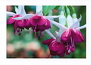 Greeting card with photograph of hybrid fuchsias individually printed on archival card stock in vivid colors. Blank inside, with envelope.
