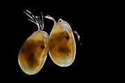Muschelkrebs, Muschelkrebse, Cyprinotus incongruens, Heterocypris incongruens, Ostracode, Ostracoda