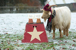 """Boots the fortune telling goat gives their predictions for 2017, at Lanton Hill Farm, Jedburgh. Think this was """"Will Alex Salmond become first minister""""."""