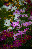 A dreamy field of Cosmos - heaven for bees.