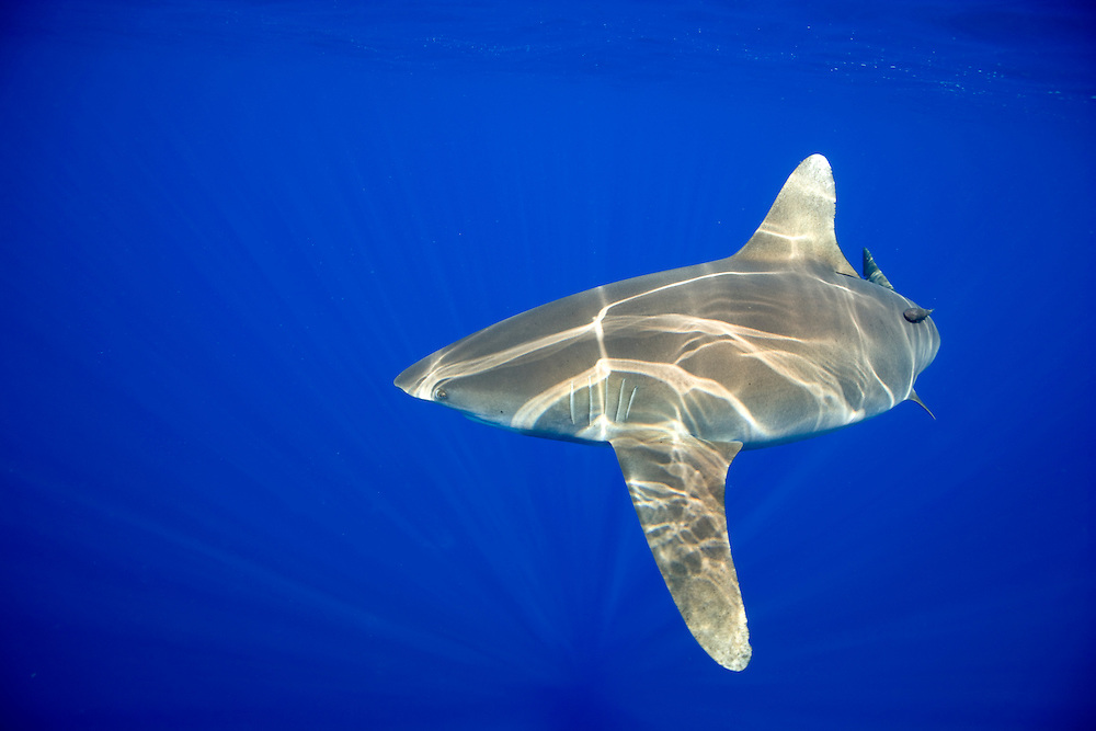 USA, Hawaii, Big Island, Underwater view of Oceanic White Tip Shark (Carcharhinus longimanus) swimming in Pacific Ocean