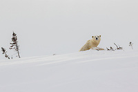 Polar Bear Mom emerging from her den for the very first time - breaking out the snow.