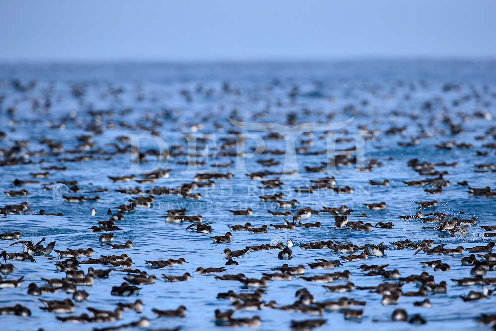 A raft of Hutton&rsquo;s shearwater (Puffinus huttoni)  also known as the Kaikōura tītī off the coast of Kaikoura, New Zealand.<br /> Friday 30 September 2016<br /> Photograph Richard Robinson &copy; 2016