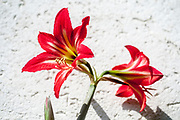 flowering red Hippeastrum flower. (Sometimes called incorrectly, amaryllis)