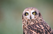 Alaska. Anchorage. Raptor Rehabilitation Center. Short-eared Owl (Asio flammeus).
