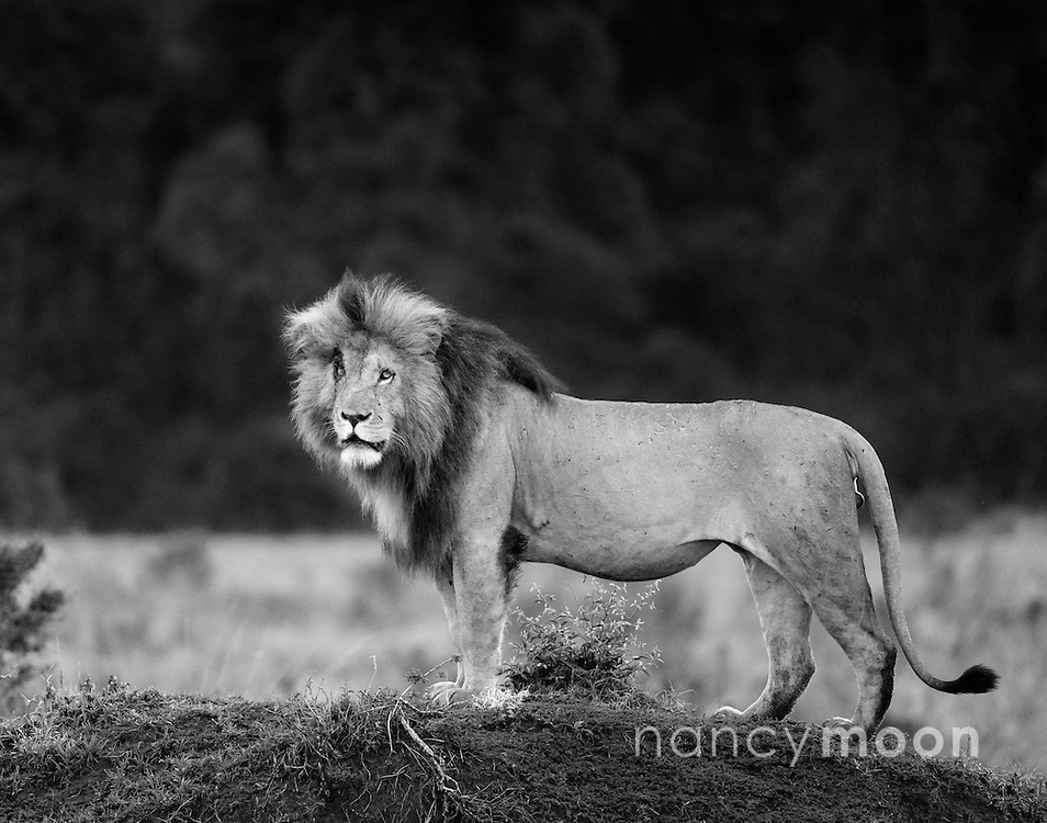 Scarface &quot;Scar&quot; is to many the most famous lion in the Maasai Mara, Kenya, Africa. In the early morning he greeted us as we left on our game drive. Who can miss this distinctive cut across eye?<br />