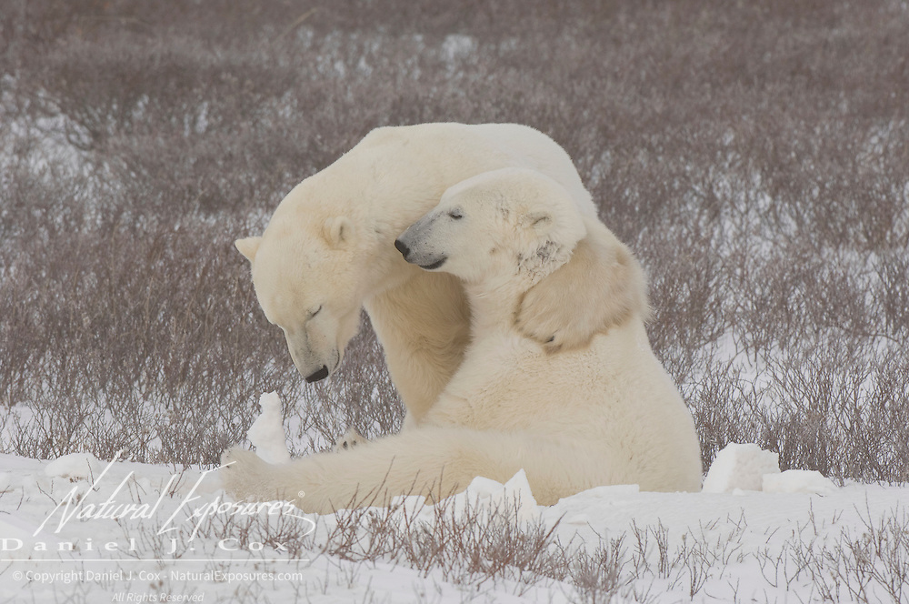 Polar Bear pair at Cape Churchill, Manitoba, Canada.
