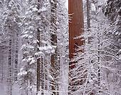 Large Format Photos, Sequoia National Park