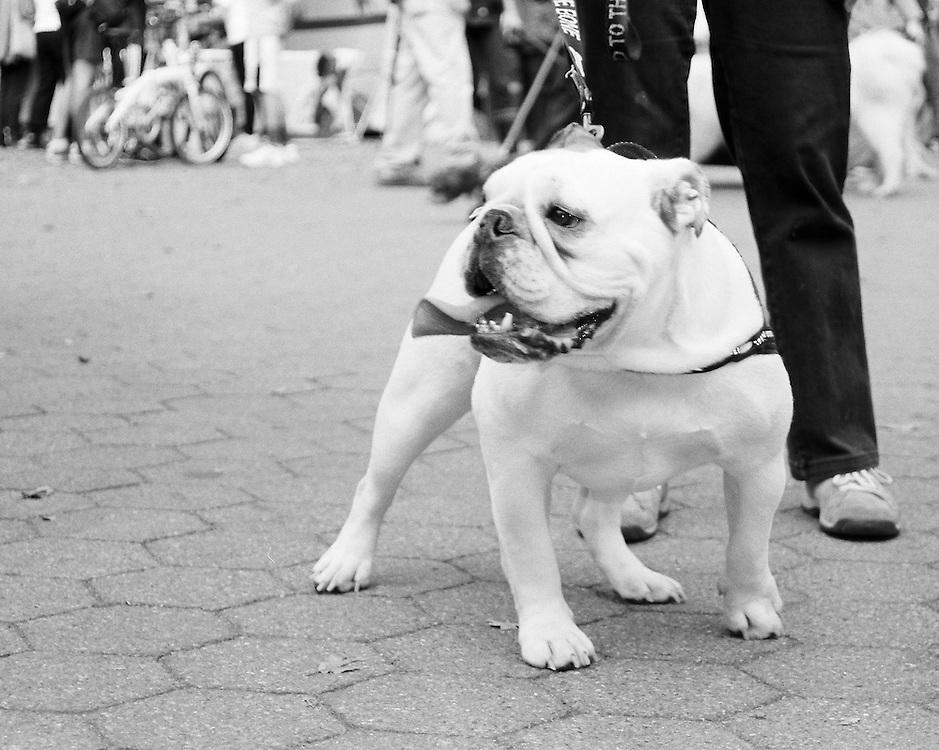 Beautiful Bulldog strolling through Central Park NYC.