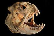 Seawolf (Anarhichas lupus) Picture was taken in cooperation with the Zoological Museum University of Hamburg | Gestreifter Seewolf (Anarhichas lupus) Das Bild entstand in Zusammenarbeit mit dem Zoologischen Museum Hamburg (ZMH); o.N.; Epipelagial 0-200m