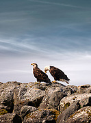 American Bald Eagles sit upon rocky cliffs at Neah Bay in Washington. Photo by Brandon Alms Photography
