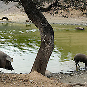 Iberian pigs and holm oak tree in Badajoz province, Extremadura region. Spain . The WAY OF SAINT JAMES or CAMINO DE SANTIAGO following the Silver Way, between Seville and Astorga, SPAIN. Tradition says that the body and head of St. James, after his execution circa. 44 AD, was taken by boat from Jerusalem to Santiago de Compostela. The Cathedral built to keep the remains has long been regarded as important as Rome and Jerusalem in terms of Christian religious significance, a site worthy to be a pilgrimage destination for over a thousand years. In addition to people undertaking a religious pilgrimage, there are many travellers and hikers who nowadays walk the route for non-religious reasons: travel, sport, or simply the challenge of weeks of walking in a foreign land. In Spain there are many different paths to reach Santiago. The three main ones are the French, the Silver and the Coastal or Northern Way. The pilgrimage was named one of UNESCO's World Heritage Sites in 1993. When there is a Holy Compostellan Year (whenever July 25 falls on a Sunday; the next will be 2010) the Galician government's Xacobeo tourism campaign is unleashed once more. Last Compostellan year was 2004 and the number of pilgrims increased to almost 200.000 people.