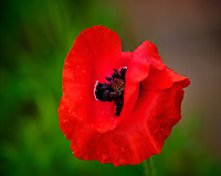 Red Poppy. Image taken with a Fuji X-H1 camera and 200 mm f/2 lens + 1.4x teleconverter (ISO 200, 280 mm, f/2.8, 1/420 sec).