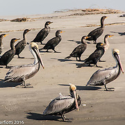 Pelicans and Anhinga on the shore.