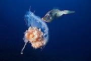 08/Abril/2014 Islas Canarias. El Hierro<br /> Gallo comiendo una medusa con Buceo La Restinga.<br /> <br /> &copy; JOAN COSTA