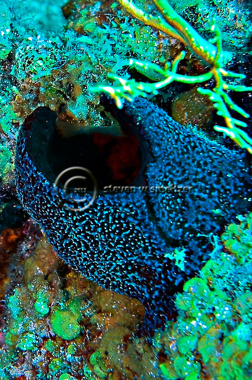 Black ball sponge, Little Tunnels, Grand Cayman