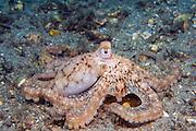 Caribbean Long Arm Octopus (Octopus defilippi) photographed in Singer Island, FL.
