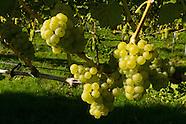 Druiventeelt - Wijnbouw | Viticulture - Vineyards