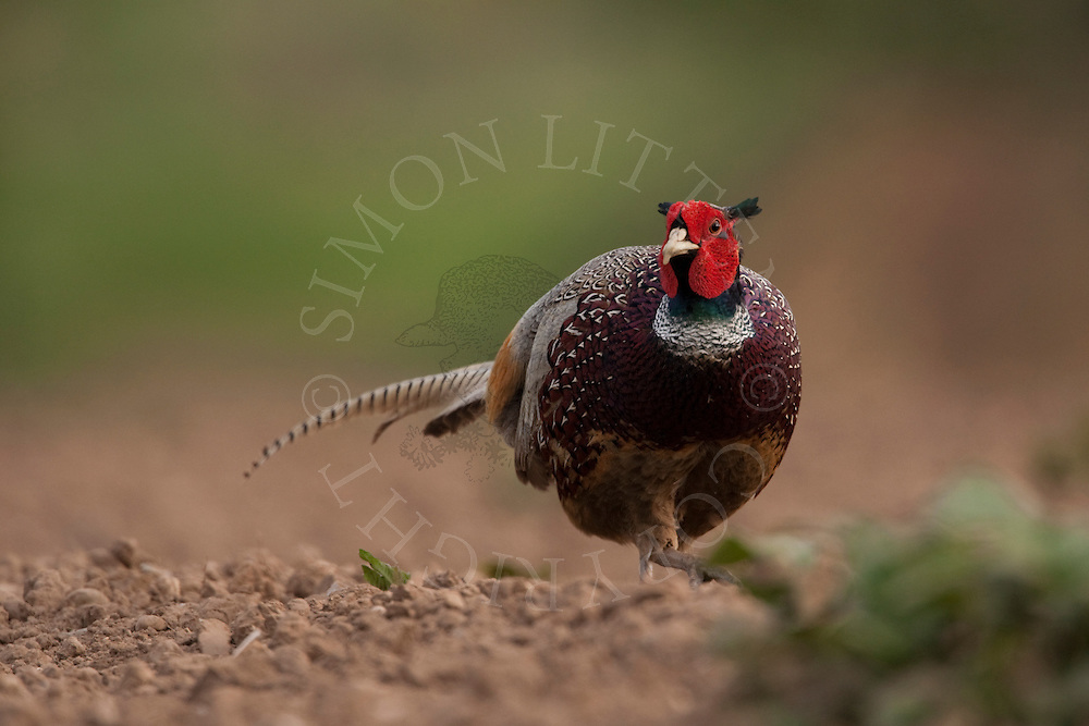 Common Pheasant (Phasianus colchicus) adult male in ploughed field, Norfolk, UK..