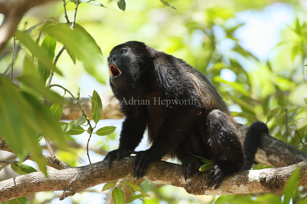 Male mantled howler monkey (Alouatta palliata) calling. Tropical dry forest. Palo Verde National Park, Guanacaste, Costa Rica.