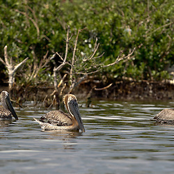 Oil stained Brown Pelicans float on the surface at Cat Island off the coast of Louisiana on Thursday, June 17 2010. Oil from the Deepwater Horizon spill continues to impact areas across the coast of gulf states.