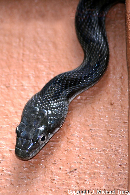 A Black Rat Snake's head as he hangs off the telephone wire attached to a house.