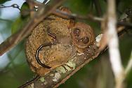 Philippine tarsier, Tarsius syrichta, Carlito syrichta, Philippinen-Koboldmaki, tarsero filipino, Tarsier des Philippines, 眼镜猴属, メガネザル, ترسير فلبيني