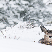 mule deer doe bedded in snow, fawn snowing, rocky mountains fir forest habitat