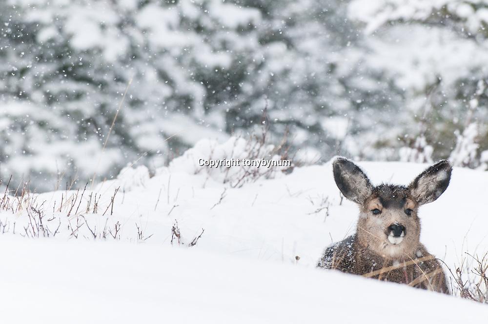 mule deer doe bedded in snow, fawn snowing, rocky mountains fir forest habitat