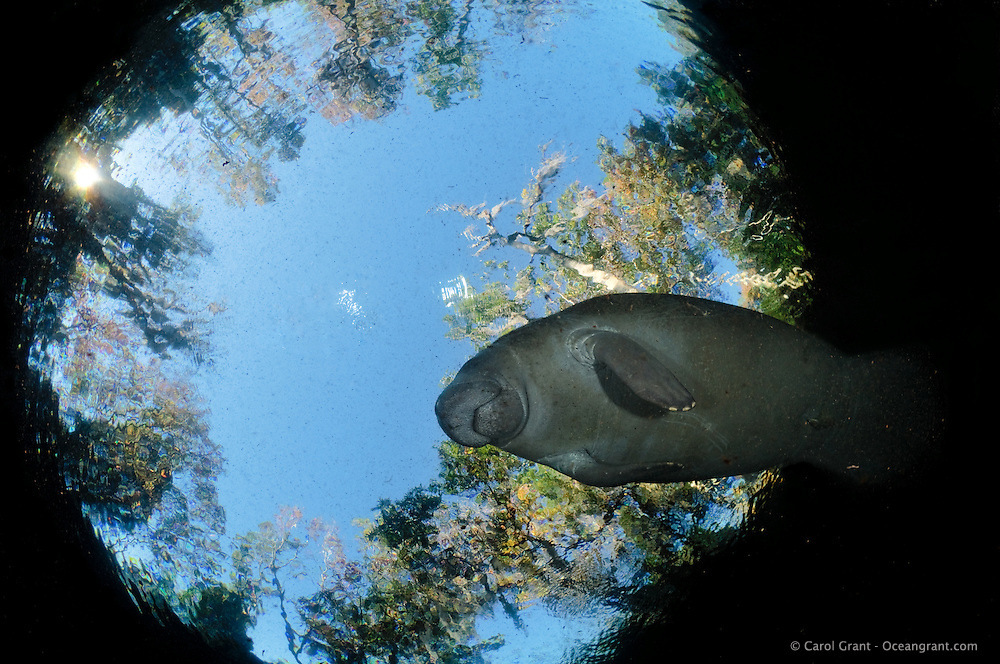 Florida manatee, Trichechus manatus latirostris, a subspecies of the West Indian manatee, endangered. A manatee swims peacefully above framed by snell's window. Horizontal orientation with blue sky and sun above. Three Sisters Springs, Crystal River National Wildlife Refuge, Kings Bay, Crystal River, Citrus County, Florida USA.